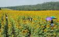 สุพรรณบุรี วันหยุดยาวนักท่องเที่ยวแห่ชมดอกทานตะวันบานสะพรั่งที่อู่ทอง